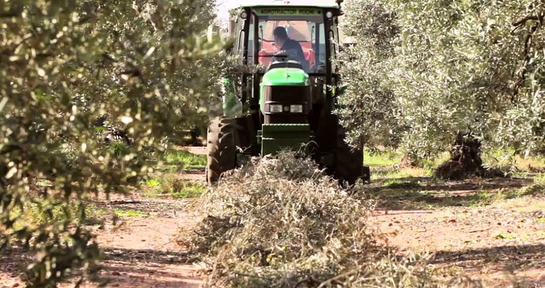 Tractor picking olive pruning