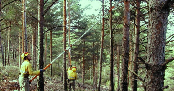 Forestry professionals working in biomass pruning